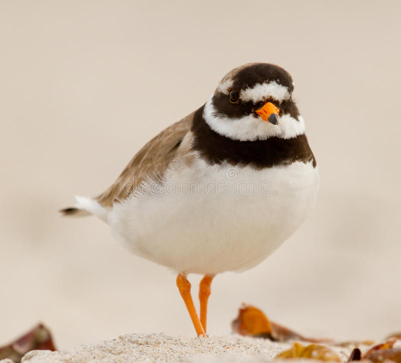 A ringed plover. Walking on the beach stock images