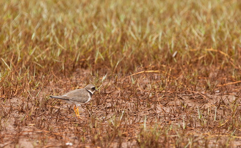 Download Ringed Plover Stock Photography - Image: 25037202