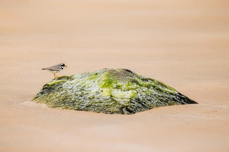 Ringed plover on a beach. stock photography