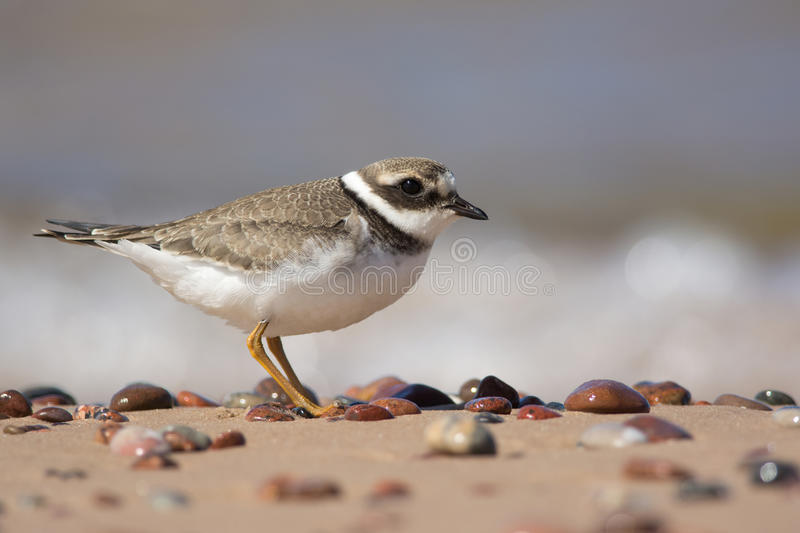 Ringed Plover. Juvenile Ringed Plover portrait on pebbled beach in summer royalty free stock image