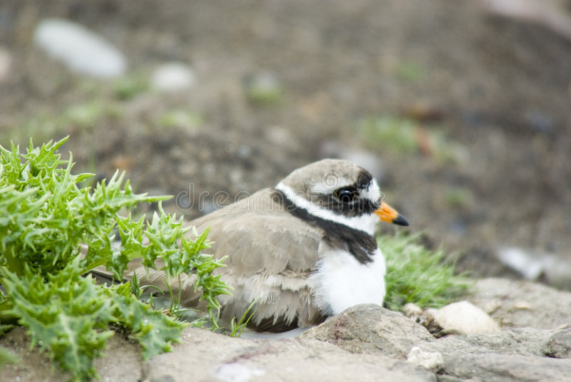 Ringed Plover on Nest stock photos