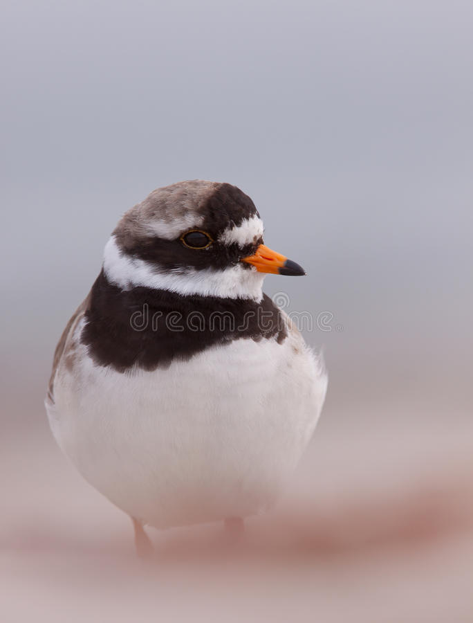 Free Ringed Plover On A Beach Royalty Free Stock Image - 24822706