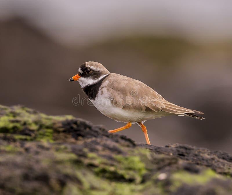Ringed Plover. A Ringed Plover walks along coastal rocks royalty free stock image