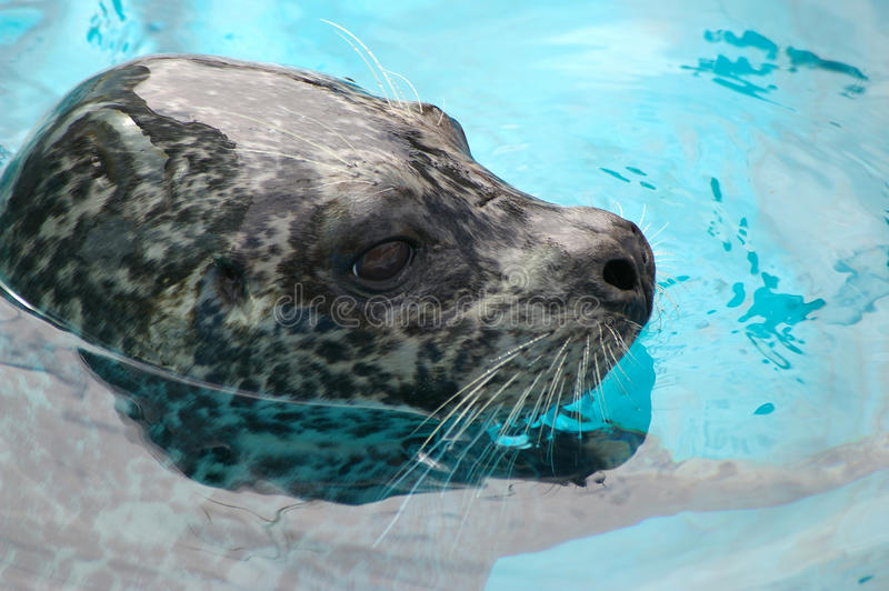 Ringed seal. Sails in water stock photography