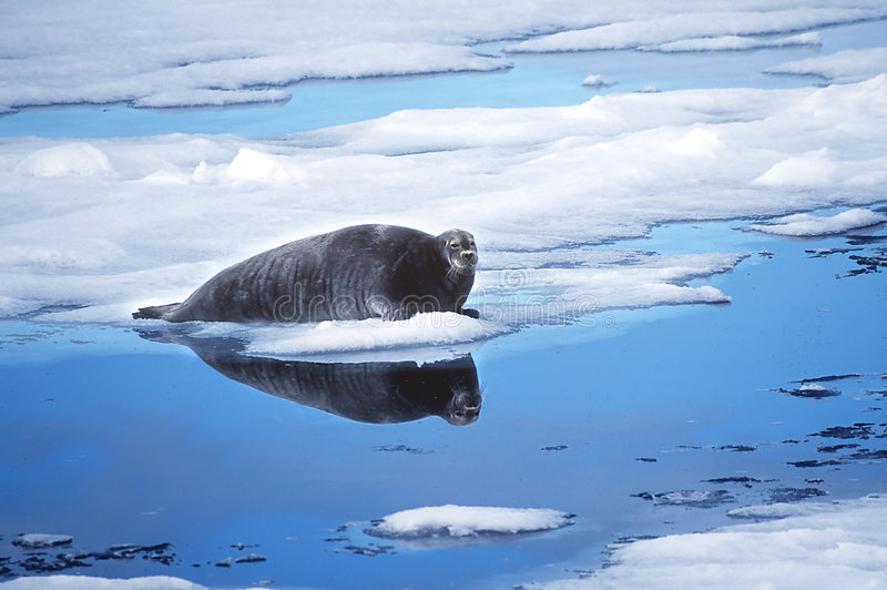 Download Ringed Seal stock image. Image of svalbard, floe, animal - 21895