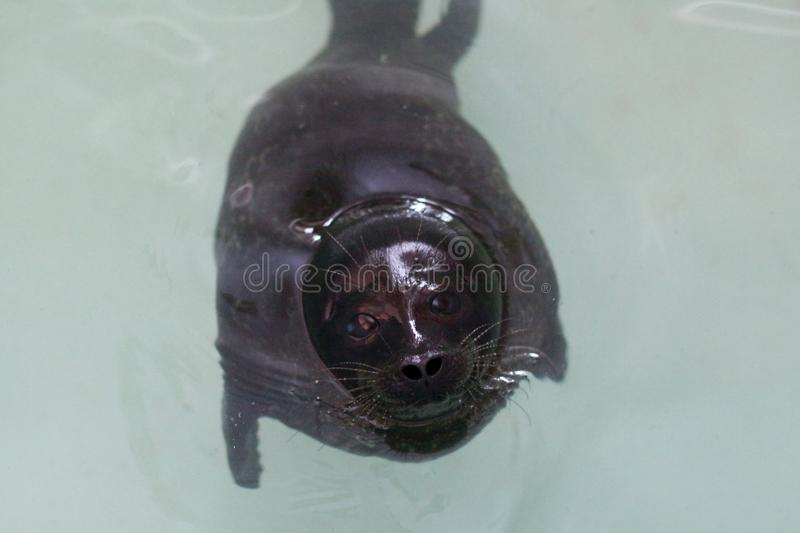 Ringed seal listed in the Red book. Ringed seal living in the zoo, listed in the Red book stock photo