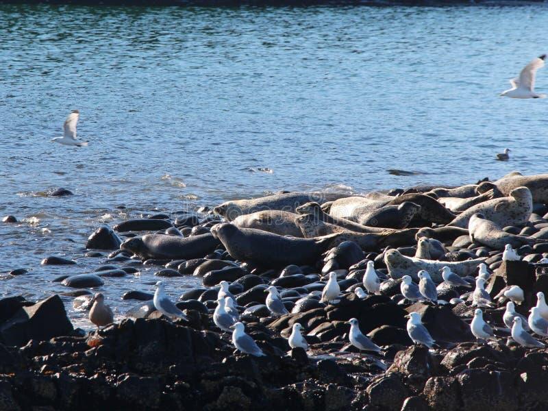 Ringed skyddsremsaråkkoloni på den steniga reven vid den Kamchatka halvön arkivfoton