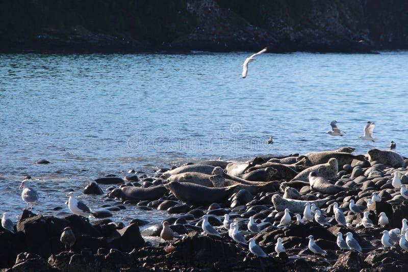 Ringed skyddsremsaråkkoloni på den steniga reven vid den Kamchatka halvön royaltyfri foto