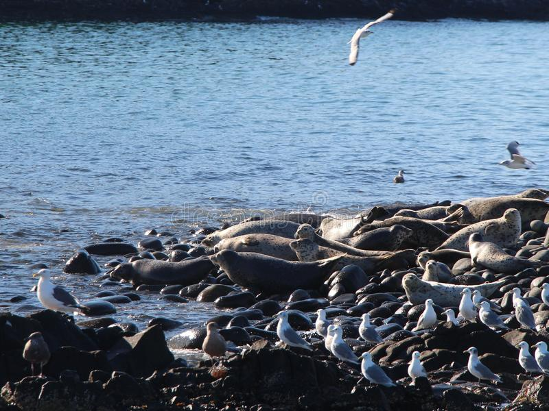 Ringed skyddsremsaråkkoloni på den steniga reven vid den Kamchatka halvön royaltyfria foton