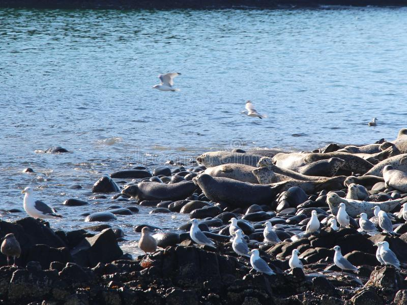 Ringed skyddsremsaråkkoloni på den steniga reven vid den Kamchatka halvön royaltyfri fotografi