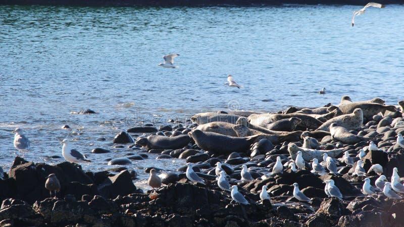 Ringed skyddsremsaråkkoloni på den steniga reven vid den Kamchatka halvön royaltyfri bild