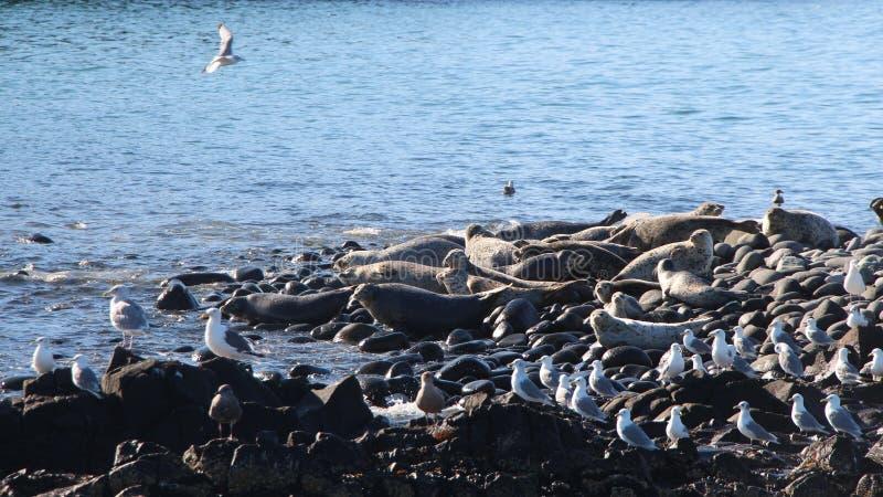 Ringed skyddsremsaråkkoloni på den steniga reven vid den Kamchatka halvön royaltyfria bilder
