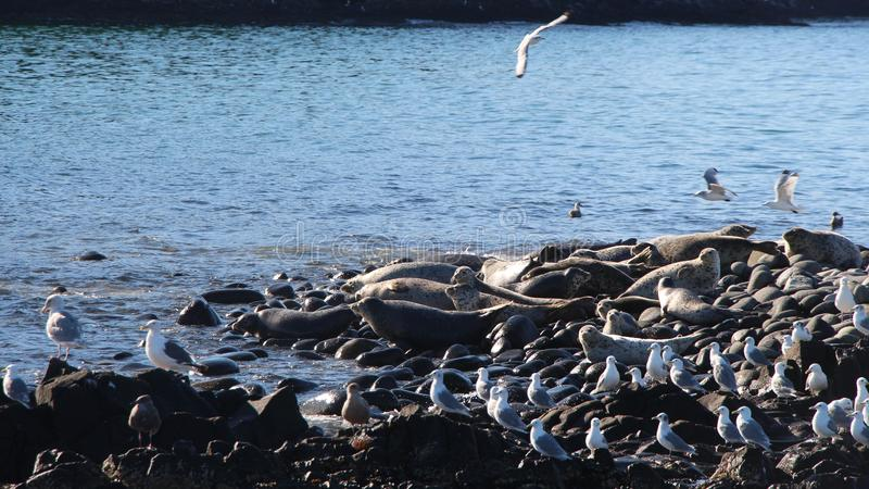 Ringed skyddsremsaråkkoloni på den steniga reven vid den Kamchatka halvön arkivfoto