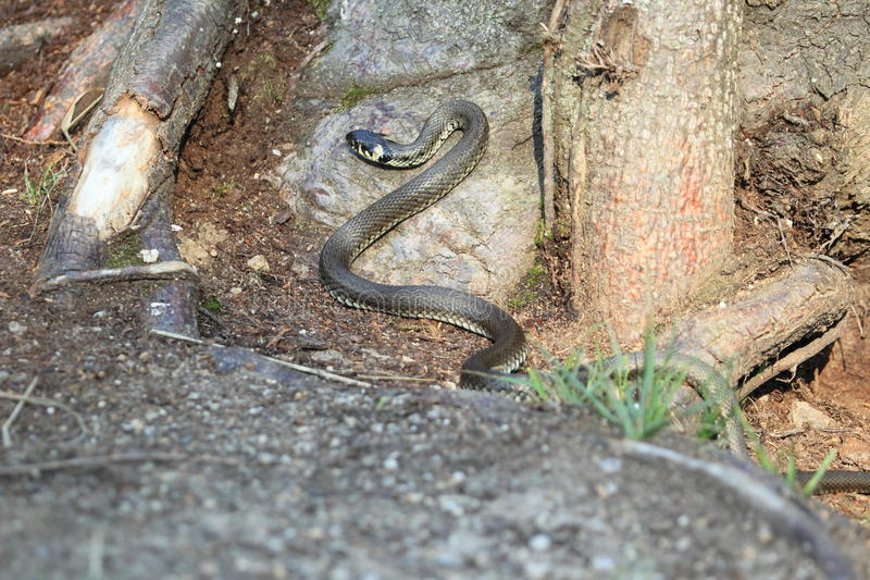 Ringed snake. Crawling in the forest stock photo