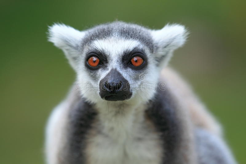 Ringed-tailed lemur. The detail of ringed-tailed lemur royalty free stock image
