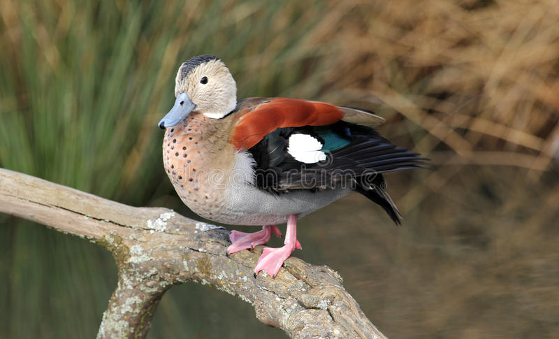 Ringed Teal. (Callonetta leucophrys) sitting on a branch royalty free stock photography