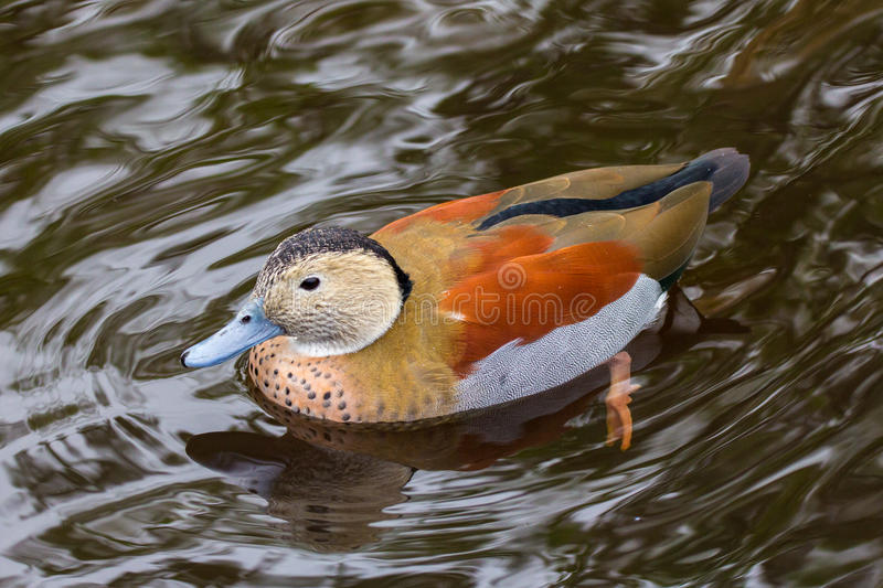 Ringed Teal. Male ringed teal from South America swimming on water royalty free stock image