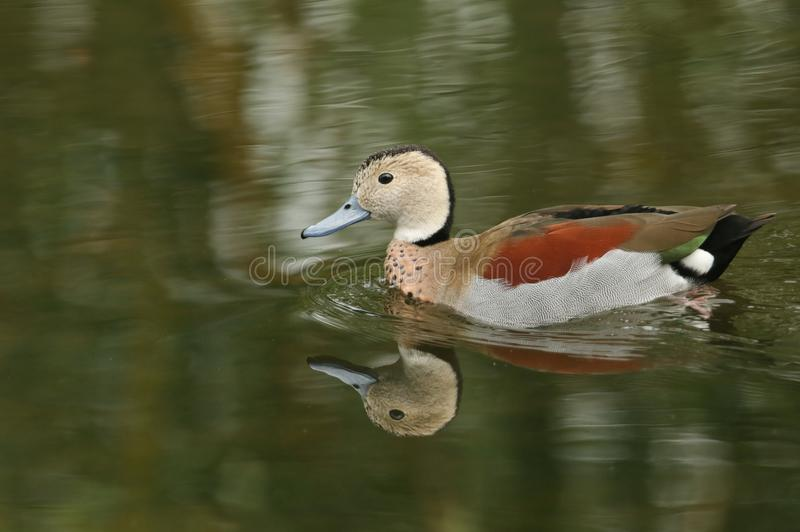 A Ringed teal or Ringed-necked Teal Callonetta leucophrys swimming in a stream. royalty free stock photo