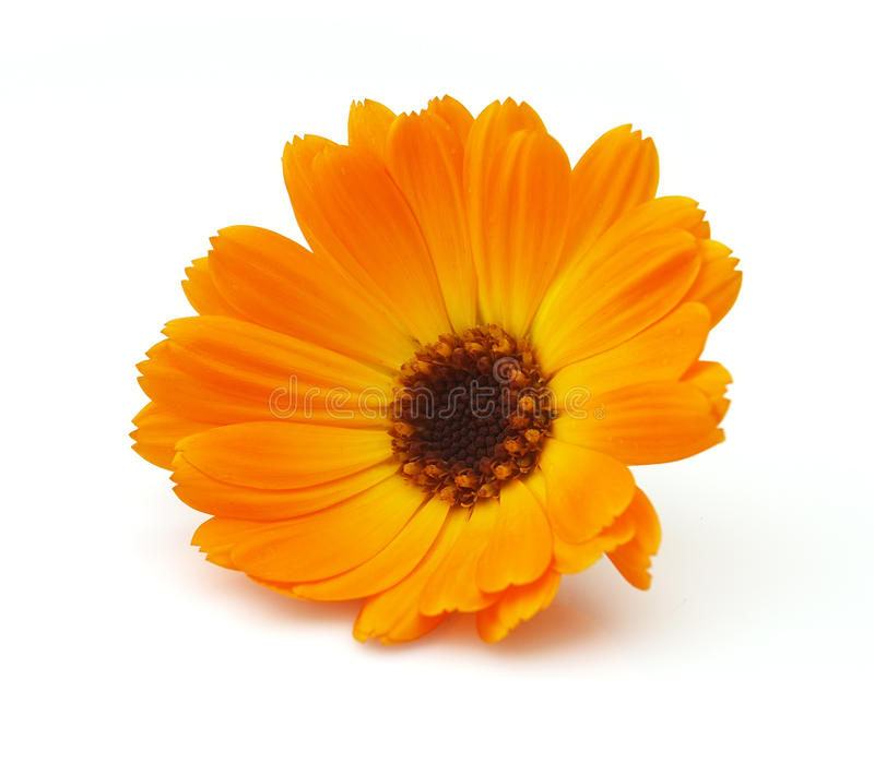 Ringelblume stockbilder