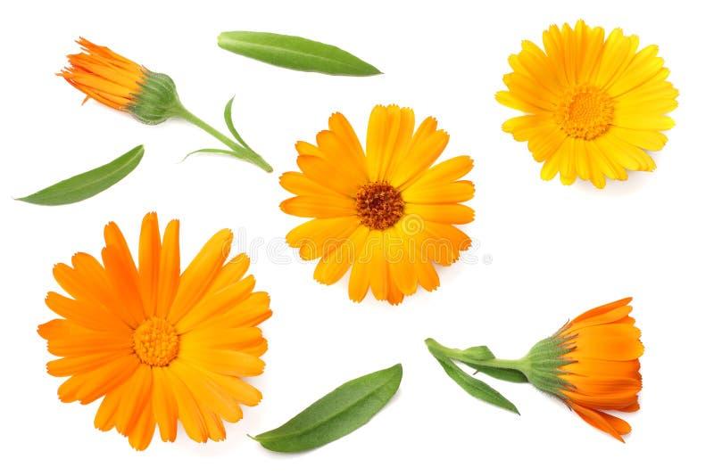 Ringelblume blüht mit dem grünen Blatt, das auf weißem Hintergrund lokalisiert wird Schließen Sie oben an einem sonnigen Tag Besc lizenzfreies stockfoto