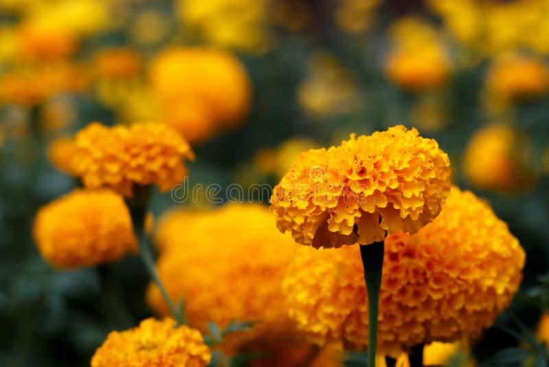 Ringelblume blüht Plantage in Thailand-` s Sommer stockfotos