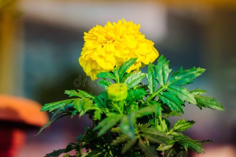 Ringelblume Calendula lizenzfreies stockbild