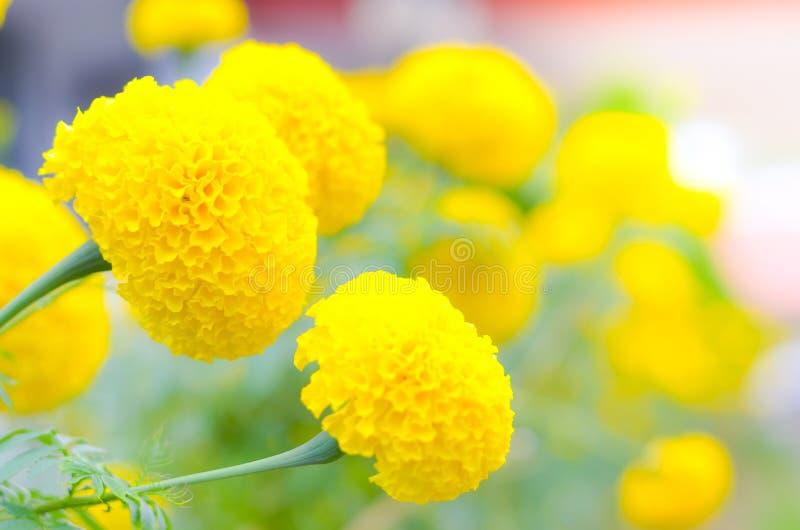 Ringelblume eine Anlage im Garten am Sommer unter Sonnenlicht, gewöhnlich mit Gelb, Naturhintergrund, abstrakte Hintergründe, aus stockbilder