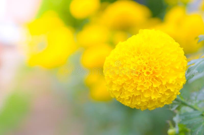 Ringelblume eine Anlage im Garten am Sommer unter Sonnenlicht, gewöhnlich mit Gelb, Naturhintergrund, abstrakte Hintergründe, aus stockfotografie