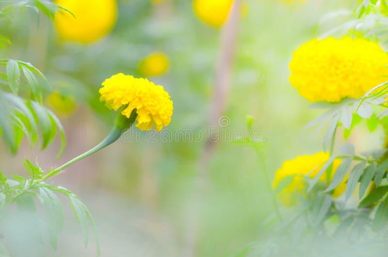 Ringelblume eine Anlage im Garten am Sommer unter Sonnenlicht, gewöhnlich mit Gelb, Naturhintergrund, abstrakte Hintergründe, aus lizenzfreie stockfotografie
