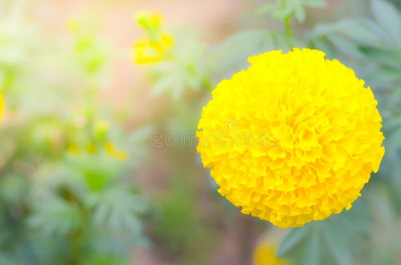 Ringelblume eine Anlage im Garten am Sommer unter Sonnenlicht, gewöhnlich mit yellowl, Naturhintergrund, abstrakte Hintergründe,  lizenzfreies stockbild