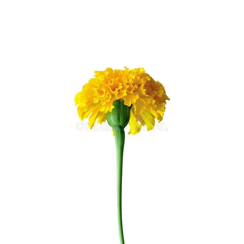 Ringelblume oder Tagetes-erecta L lizenzfreie stockfotos