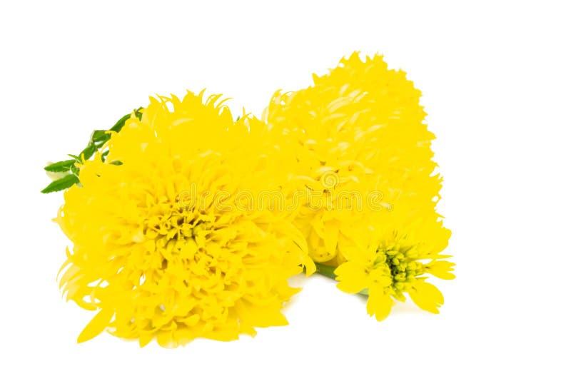 Ringelblume Tagetes auf weißem Hintergrund lizenzfreies stockfoto
