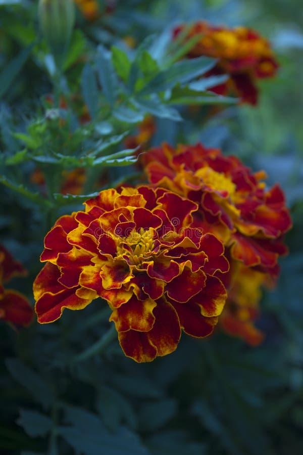 Ringelblume Tagetes-Blumen im Garten lizenzfreie stockfotos