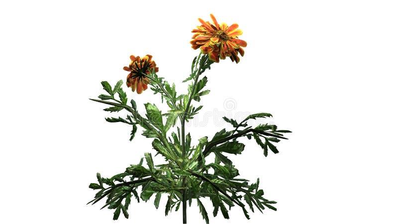 Ringelblume - Zierpflanze mit Gelb zu den bräunlichen roten Blüten vektor abbildung