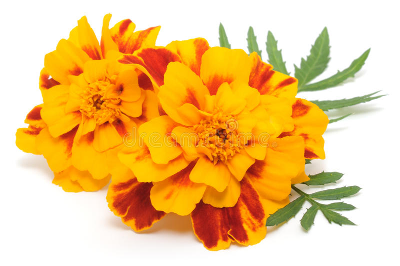 Ringelblumen stockfoto