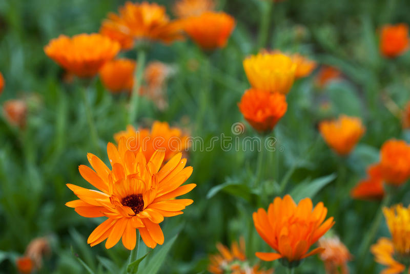 Ringelblumen stockfotos