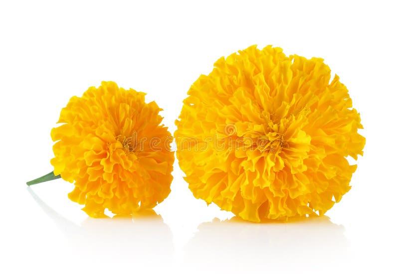 Ringelblumen-Blume auf weißem Hintergrund stockbild