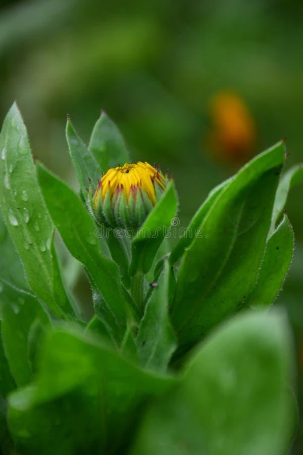 Ringelblumen-Blume Calendula Officinalis mit der gelben Knospe und den Regentropfen auf grünen Blättern Foto auf Lager durch Mari stockfoto