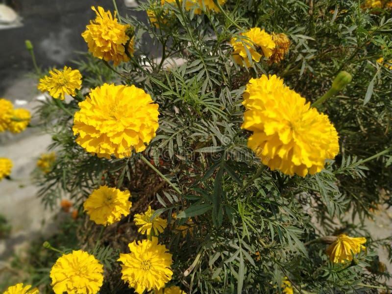 Ringelblumen-Blumen und Anlage lizenzfreies stockbild