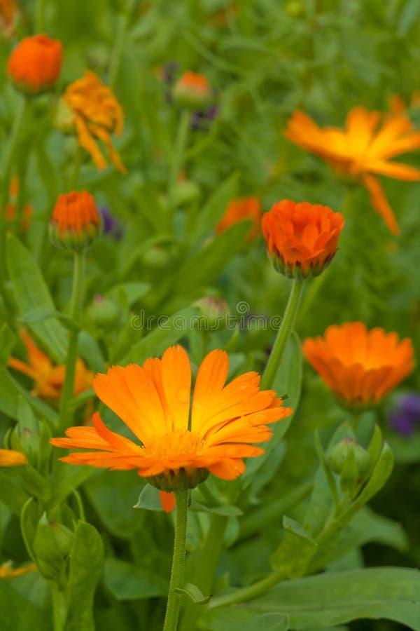 Ringelblumen in der Natur lizenzfreie stockfotografie