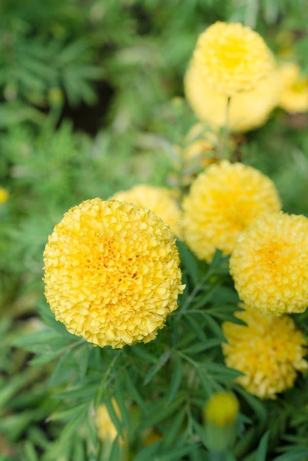 Ringelblumen im Garten lizenzfreie stockfotografie