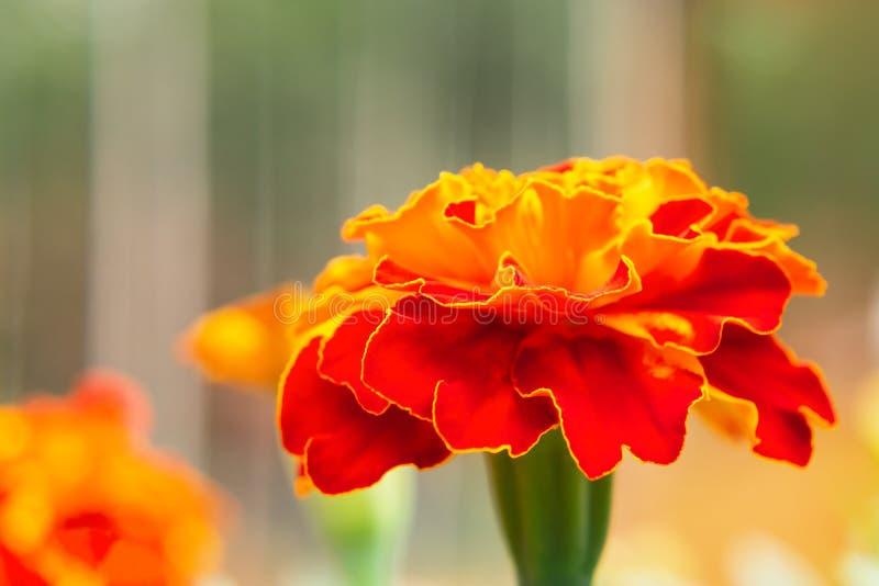 Ringelblumenblume auf einem Blumenbeet im Garten Unscharfer Hintergrund, selektiver Fokus, Nahaufnahme lizenzfreie stockfotos