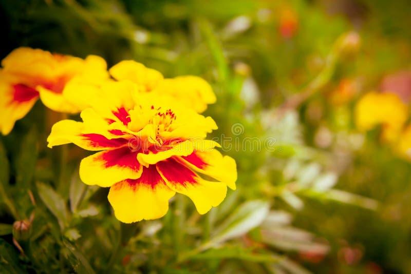 Ringelblumenblume auf einem Blumenbeet im Garten Unscharfer Hintergrund, selektiver Fokus, Nahaufnahme stockfotografie