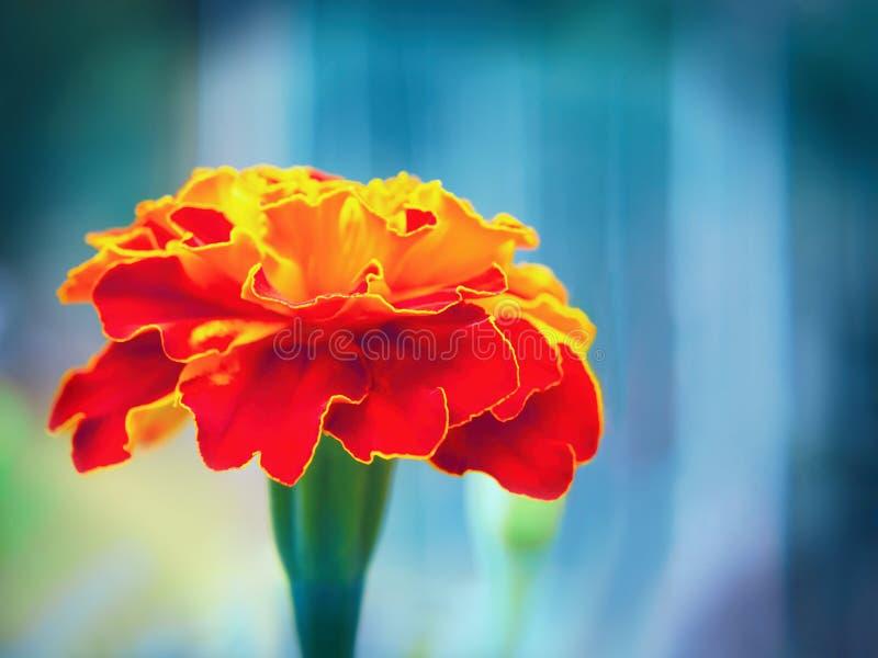 Ringelblumenblume auf einem Blumenbeet im Garten Unscharfer Hintergrund, selektiver Fokus, Nahaufnahme stockbild