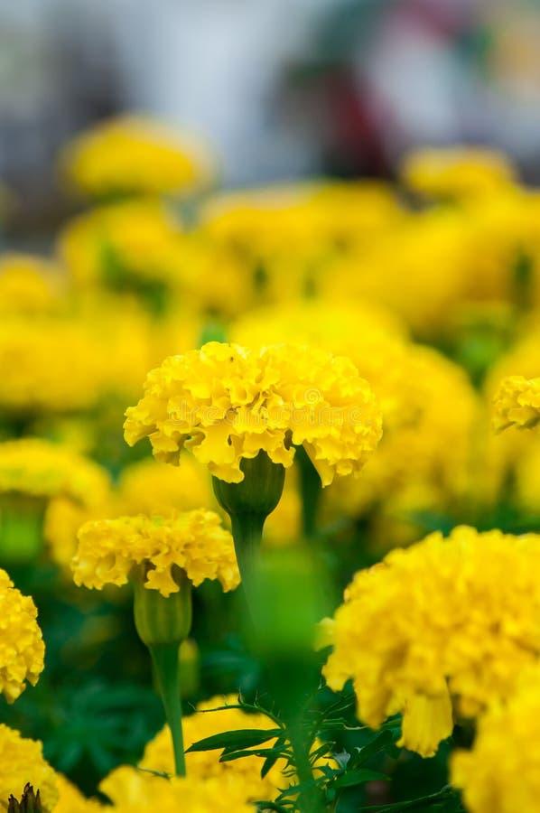 Ringelblumenblumen im Garten stockfotografie