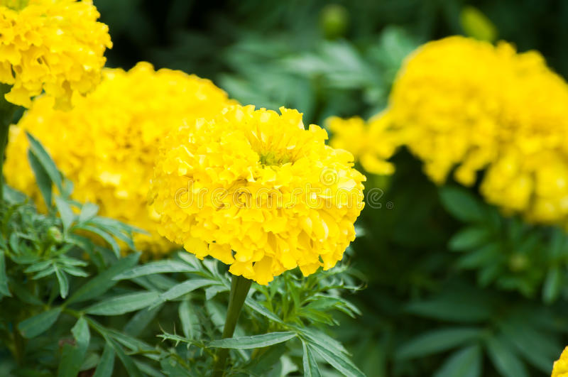 Ringelblumenblumen im Garten stockfotos