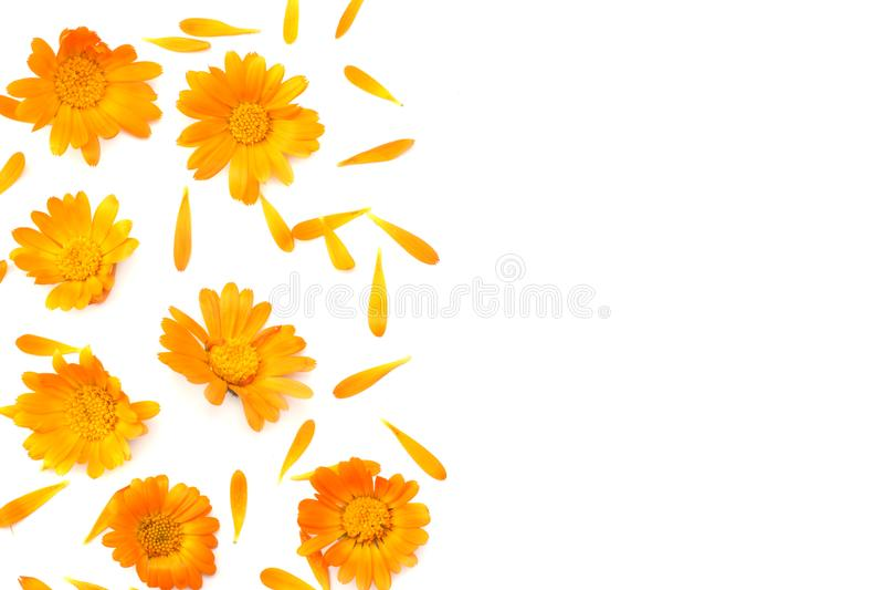 Ringelblumenblumen lokalisiert auf weißem Hintergrund stockbild