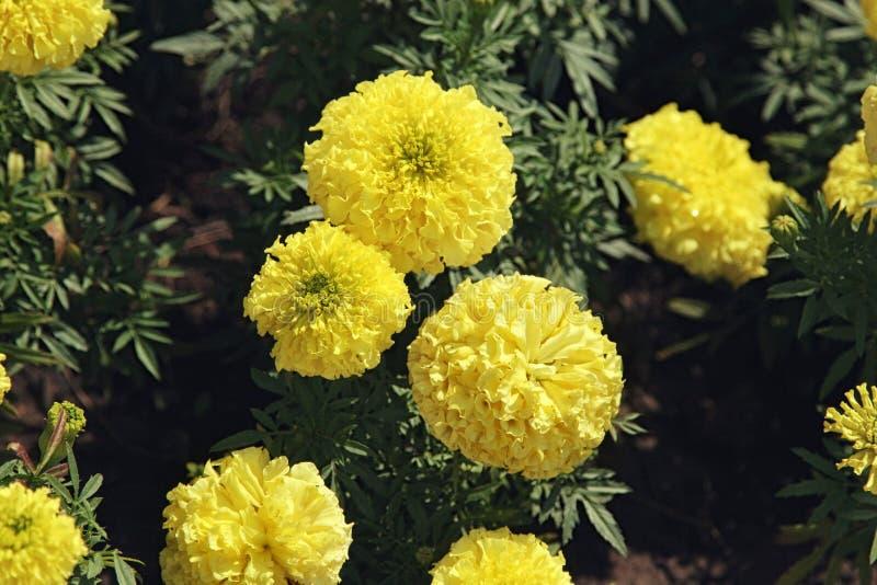 Ringelblumenblumen schließen oben im Garten am Sonnenlicht stockfoto