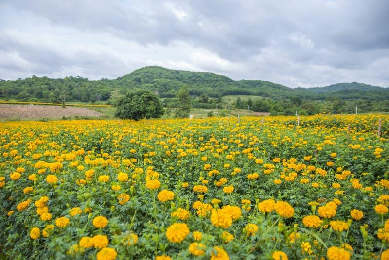 Ringelblumenblumen in Thailand lizenzfreie stockfotos