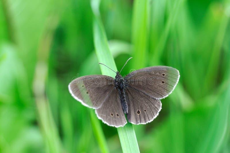 Ringellocke-Schmetterling stockfotografie